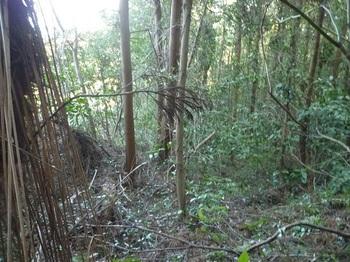 P1220549植林尾根を下る.JPG