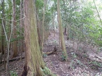 P1230350ヒノキ林境.JPG