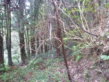 P1230768段状の植林地.JPG