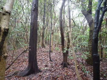 P1230777疎林尾根を登る.JPG