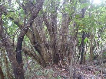 P1230835たこ足の木.JPG