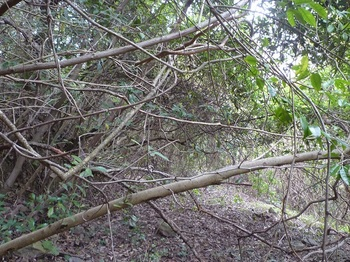 P1240077低木が被さる.JPG