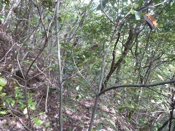 P1240213灌木で荒れ気味の古道.JPG