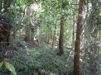 P1240745植林沿いの平坦地を下る.JPG