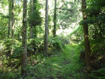 P1240889スギ植林帯のふれあいコースを進む.JPG