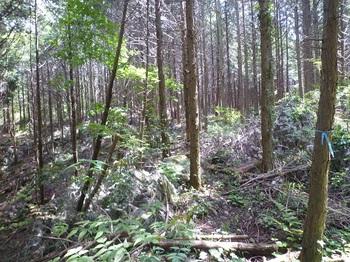 P1240955植林帯の踏み跡.JPG