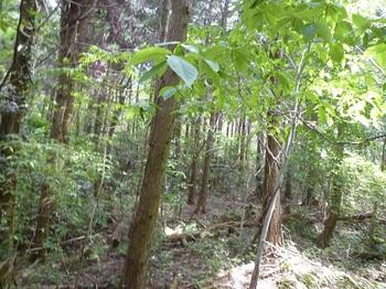 P1240959ふたたび植林帯に出る.JPG