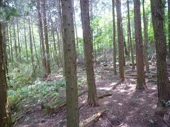 P1240984植林帯で林道が消失.JPG