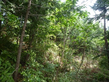 P1250129植林尾根沿い(一段下).JPG