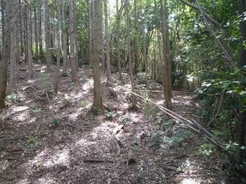 P1250131 220m平坦ピーク・左ヒノキ林境.JPG