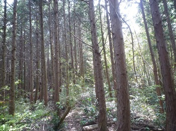 P1250134左のヒノキ林尾根へ上がる.JPG