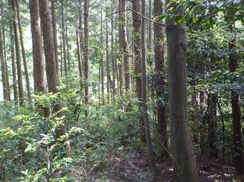 P1250146植林尾根を下る.JPG