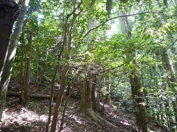 P1250149右の植林帯へ逃げながら登る.JPG