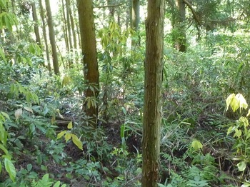 P1250257ササ被りを避け左の植林側を下る.JPG