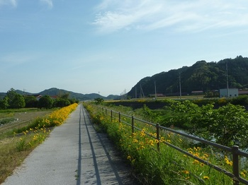 P1250281川沿いの遊歩道・オオキンケイギク.JPG