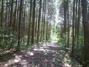 P1250409植林帯の未舗装林道.JPG