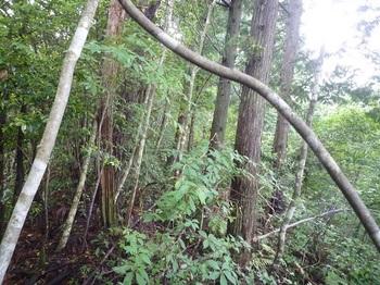 P1250457植林下の灌木.JPG