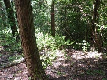 P1250557分岐の植林境.JPG