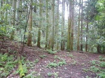 P1250641スギ植林の緩斜面を巻く.JPG