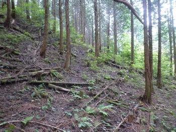 P1250643ヒノキ林斜面にトラバース状の踏み跡.JPG