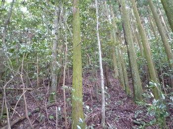 P1250868スギ植林境を登る.JPG
