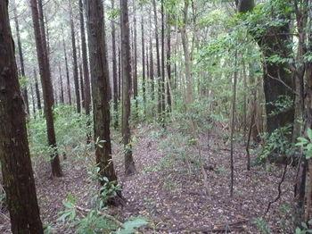 P1250878灌木交じり植林境.JPG