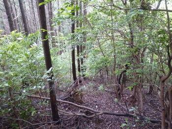 P1250896灌木交じり植林境.JPG