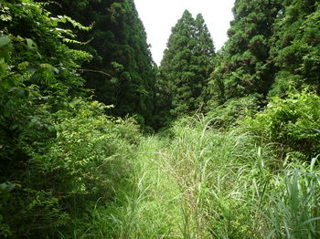 P1250989カヤガ茂る林道.JPG