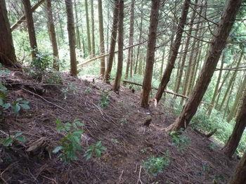 P1260207植林斜面の踏み跡.JPG