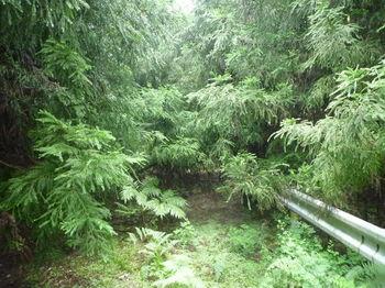 P1260423スギが被さる林道.JPG