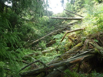 P1260429倒木で潰れた林道.JPG