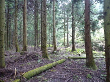 P1260800スギ植林帯の巡視路.JPG