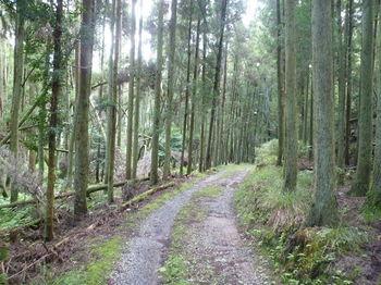 P1270120スギ植林沿いの林道.JPG