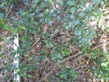 P1270579灌木の中の四等三角点.JPG