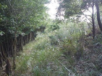 P1270931カヤ被りの山道.JPG