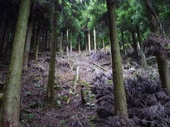 P1290218植林斜面の踏み跡.JPG