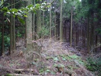 P1290250植林支尾根へ出る(右方向).JPG