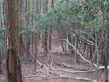 P1290443左ヒノキ植林境.JPG