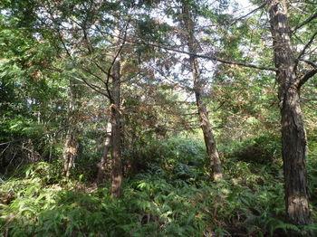 P1300056植林境・シダ.JPG
