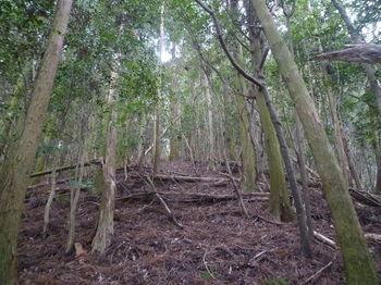 P1300206植林尾根の切開き.JPG