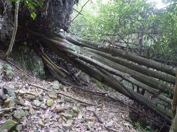 P1300864倒木をくぐる.JPG