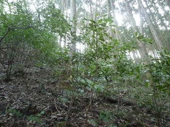 P1300908植林境。灌木.JPG