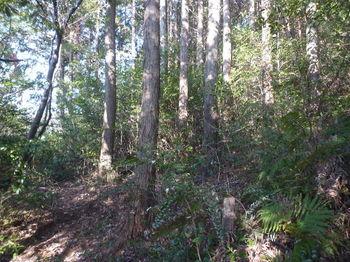P1300929ヒノキ植林出合い.JPG
