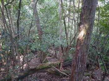 P1310747植林境尾根・下り.JPG
