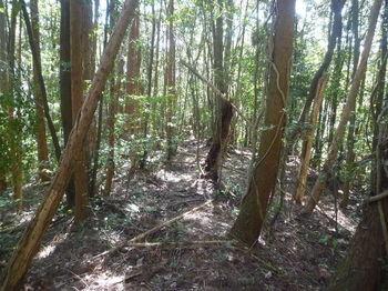 P1320113植林沿い・尾根道.JPG
