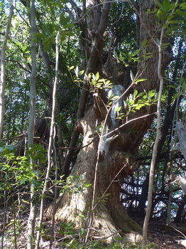 P1320287枯れ巨木.JPG