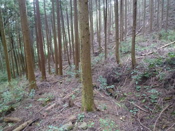 P1320551植林斜面・溝道沿い.JPG