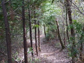 P1320740ヒノキ植林沿い・下り.JPG