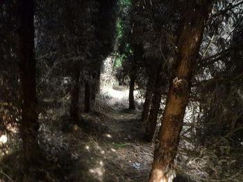 P1320743杉植林帯の山道.JPG