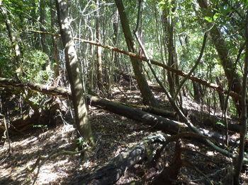 P1330172植林倒木でやや荒れた尾根.JPG